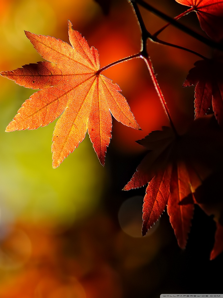 Black And White Leaf Wallpaper Download Maple Leaf Wallpaper Gallery