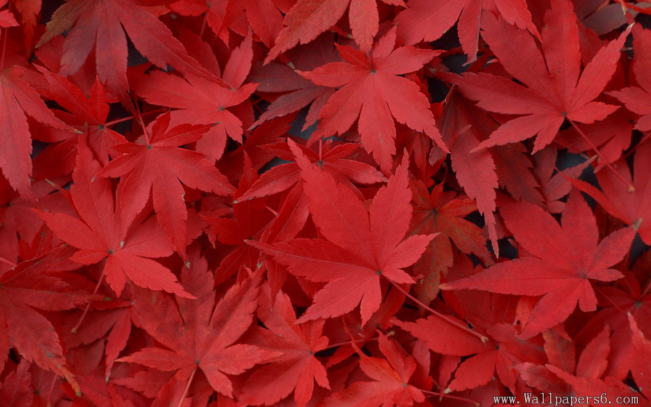 Autumn Love Hd Live Wallpaper Download Maple Leaf Wallpaper Gallery