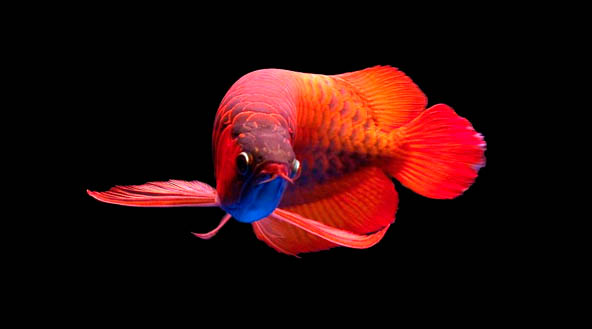 3d Patriots Wallpaper Download Red Arowana Wallpaper Gallery