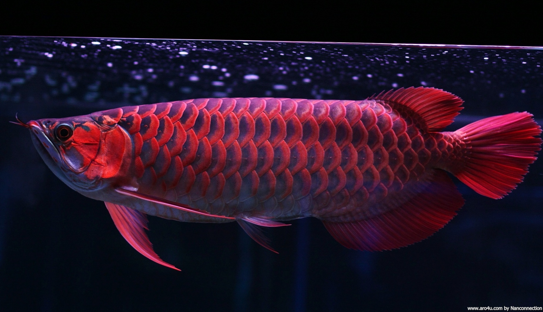 3d Live Birthday Wallpaper Download Red Arowana Wallpaper Gallery