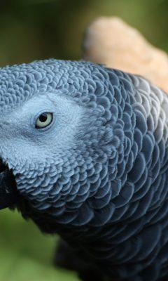 Hd Pigeon Wallpaper African Grey Parrot Wallpaper 4k Background Hd Wallpaper