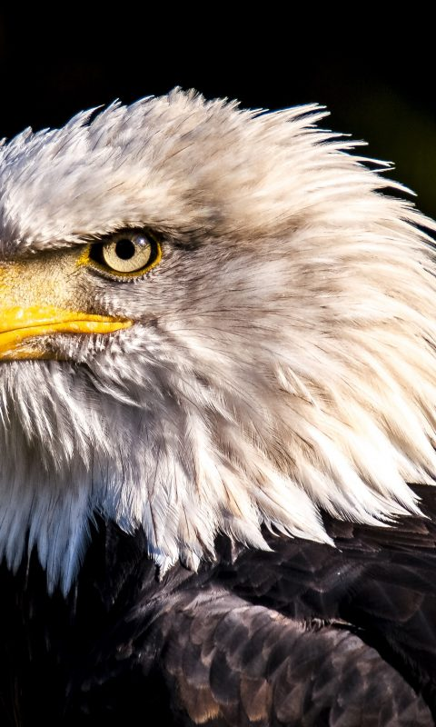 Ios 11 Wallpapers Iphone X Bald Eagle 4k Wallpaper Hd Wallpaper Background