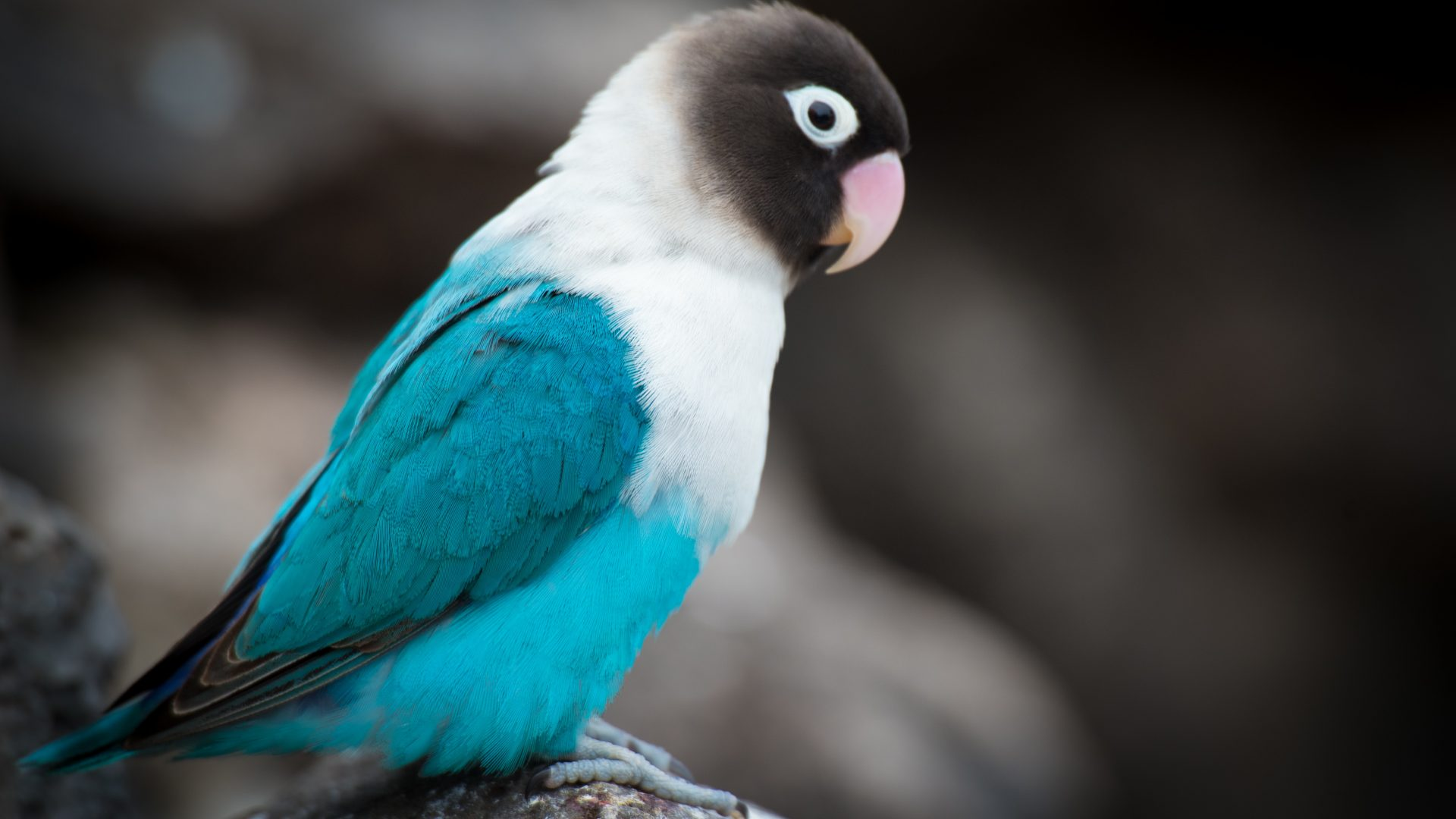 Iphone 5s Wallpaper Hd Blue Parrot Wallpaper 4k 5k Hd Wallpaper Background
