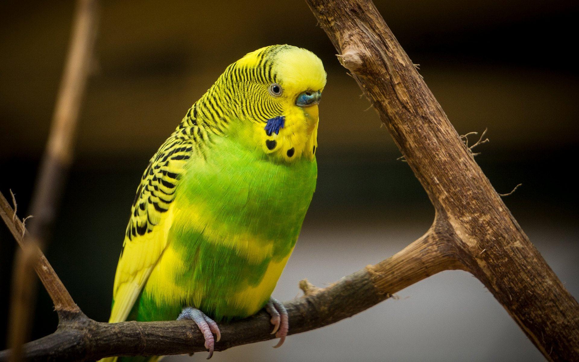 Cute Parakeet Wallpaper Green And Yellow Parrot Wallpaper Hd Wallpaper Background
