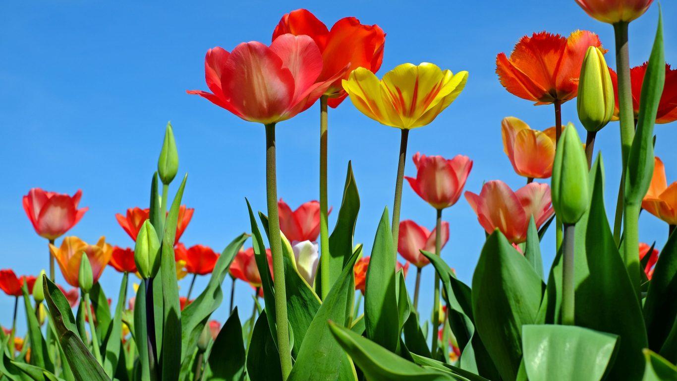3840x2160 Wallpaper Cars Tulips 4k Wallpaper Background Hd Wallpaper Background