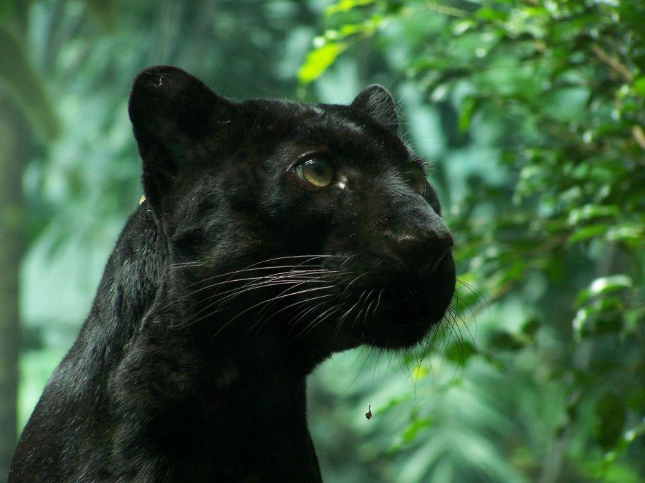 Black Wallpaper 1920x1080 Nature Animals Panthers Black Panther Wallpaper