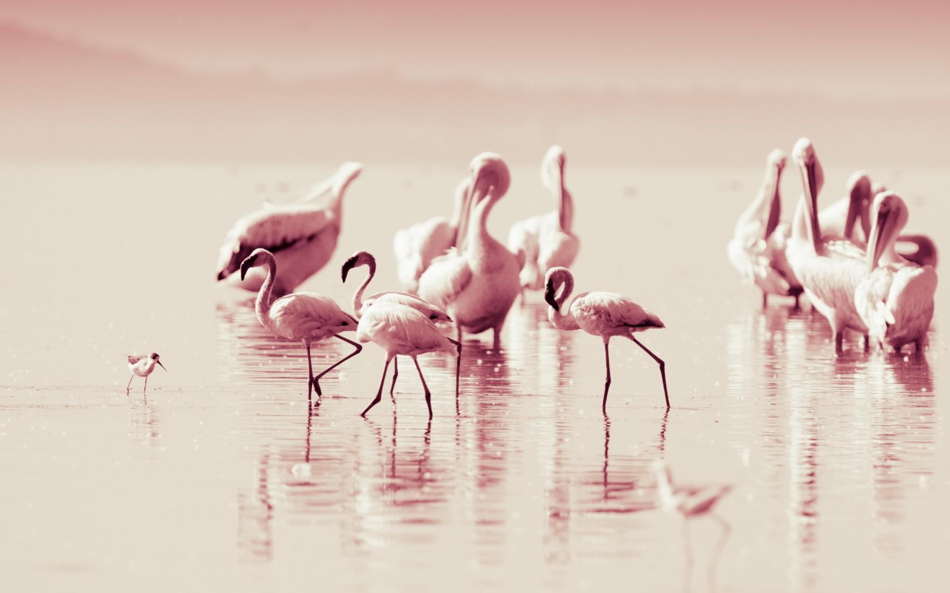 Www 3d Wallpaper Download Com Flamingo Lakes Reflection Water Pink Wallpaper 1920x1200
