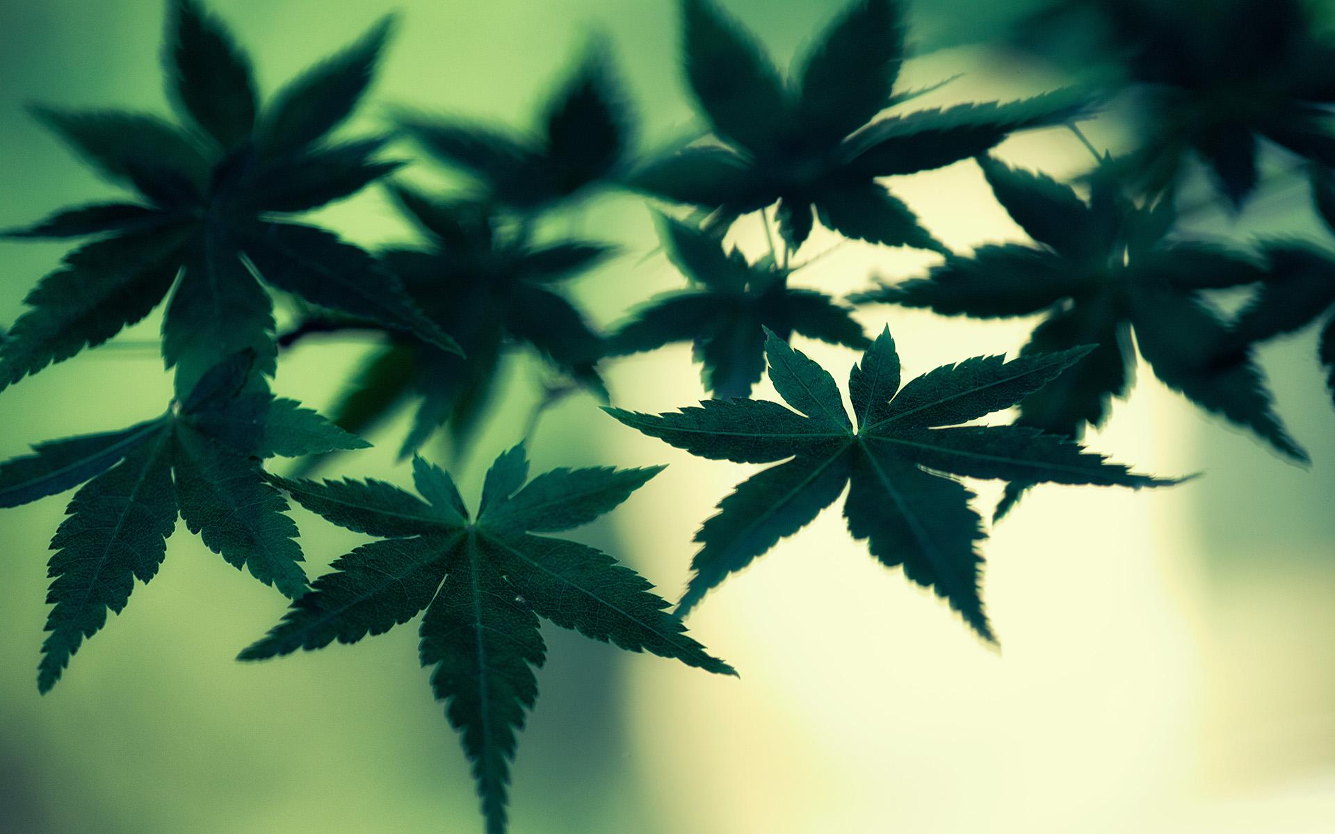 Ganja Wallpaper 3d Marijuana Cannabis Leaves Green Macro Weed Wallpaper