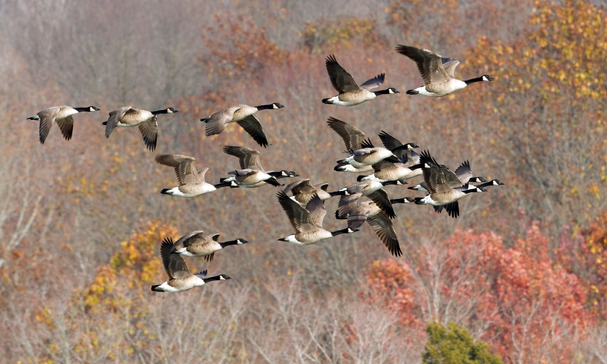 Fall Wallpaper With Animals Geese Goose Autumn Fall Wallpaper 2048x1229 136897