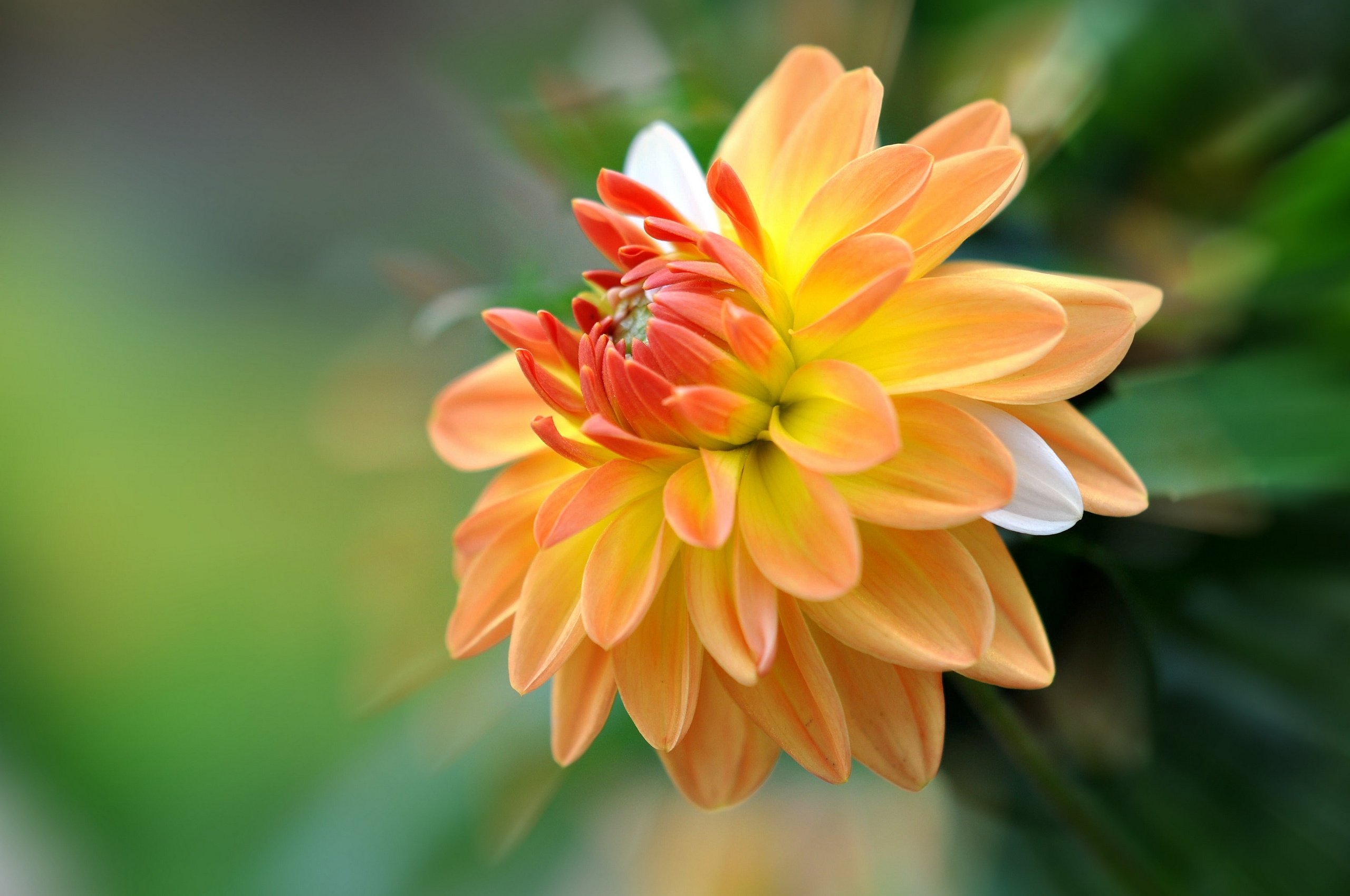 Fall Chevron Wallpaper Dahlia Close Up Bokeh Wallpaper 2560x1700 162725