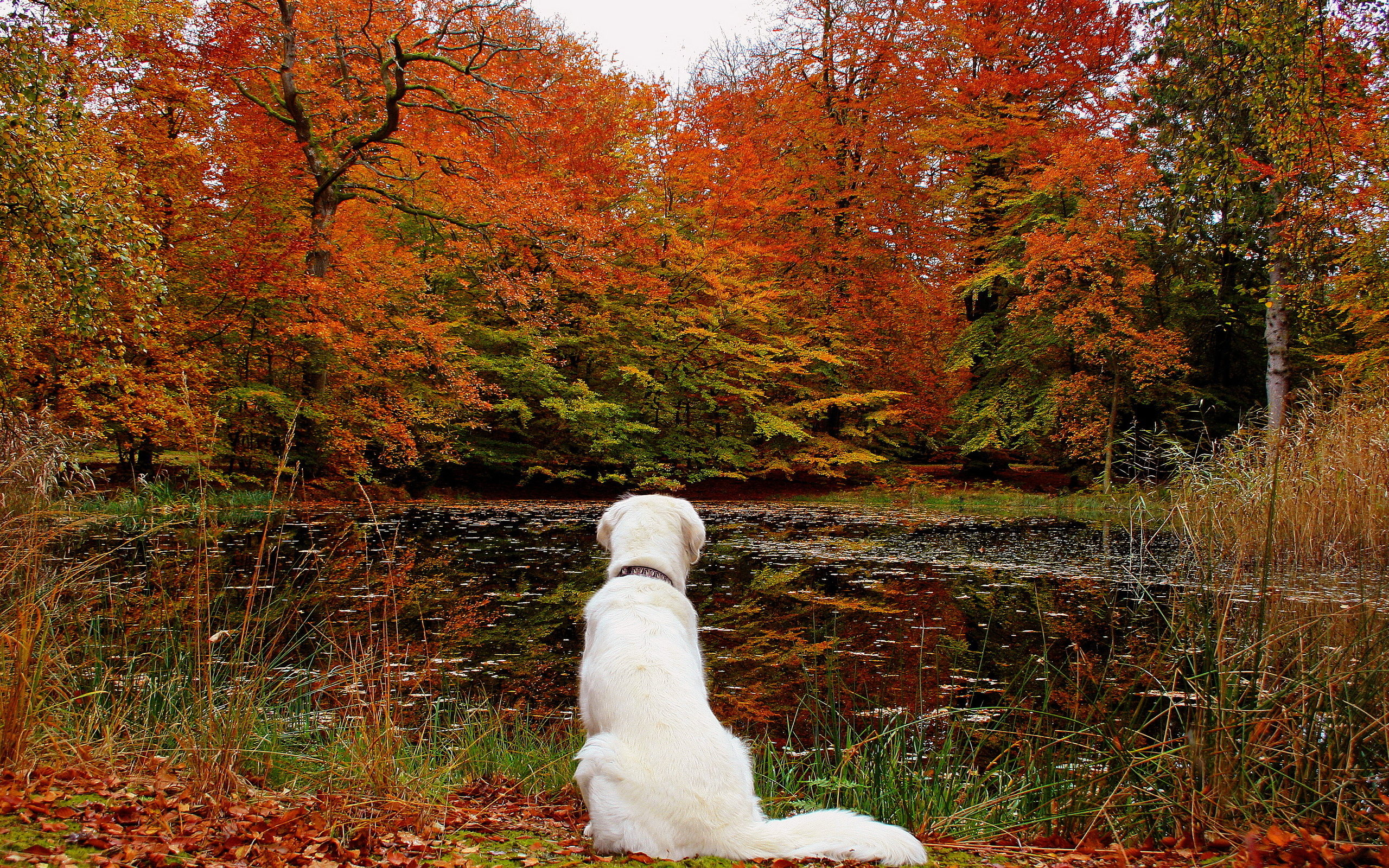 Free Computer Wallpaper Fall Leaves Lake Leaves Autumn Dog Forest F Wallpaper 2560x1600