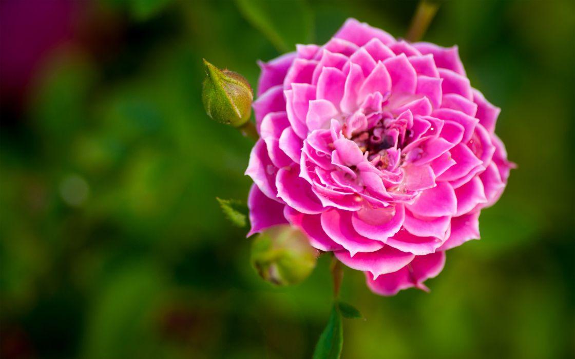 Free Wallpaper Nature Hd Nature Flower Garden Rose Pink Hd Wallpaper Wallpaper