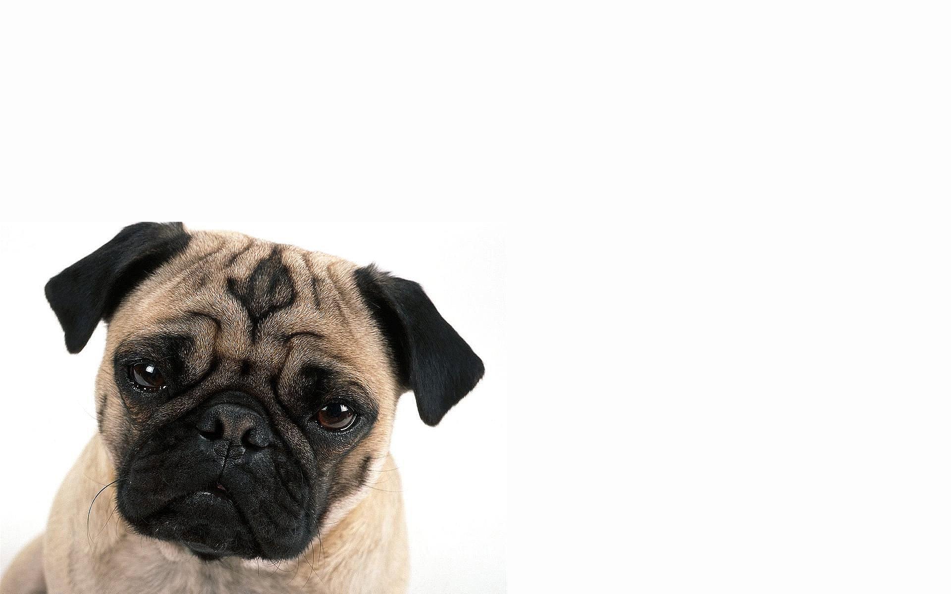 Pug Iphone Wallpaper Animals Dogs Pug Wallpaper 1920x1200 262327 Wallpaperup