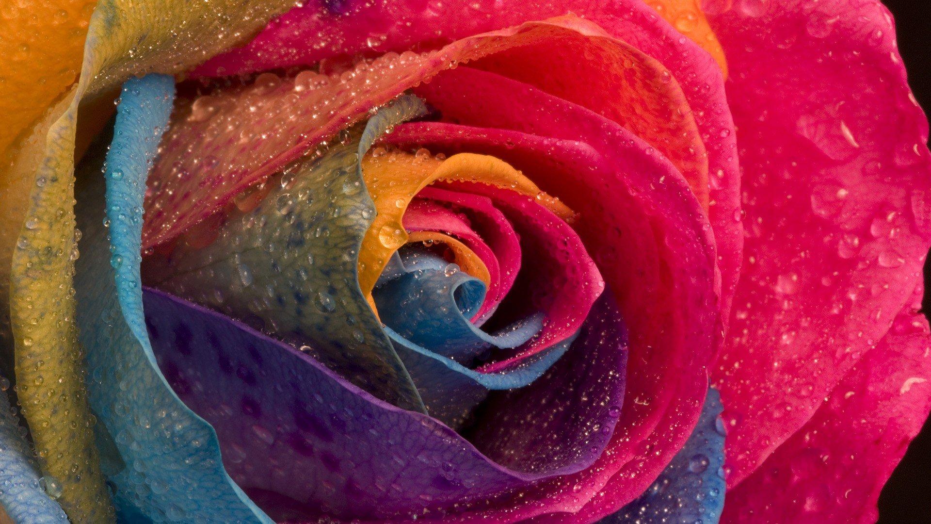 Drops Rainbow 3d Wallpaper Multicolor Flowers Water Drops Macro Roses Wallpaper