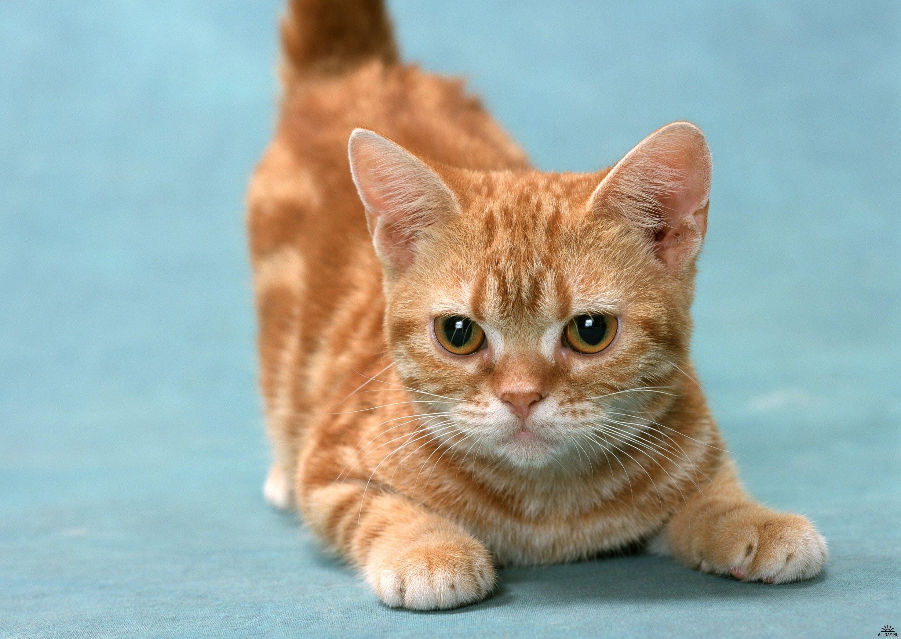 Most Expensive Cat Breeds In The World Top Ten