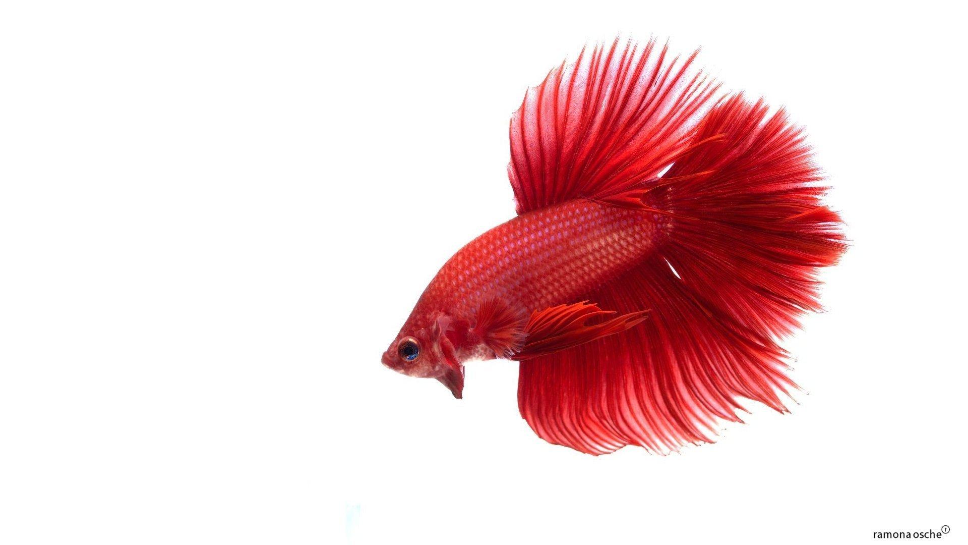 Fighter Fish Hd Wallpaper Download Betta Siamese Fighting Fish Colorful Tropical Wallpaper