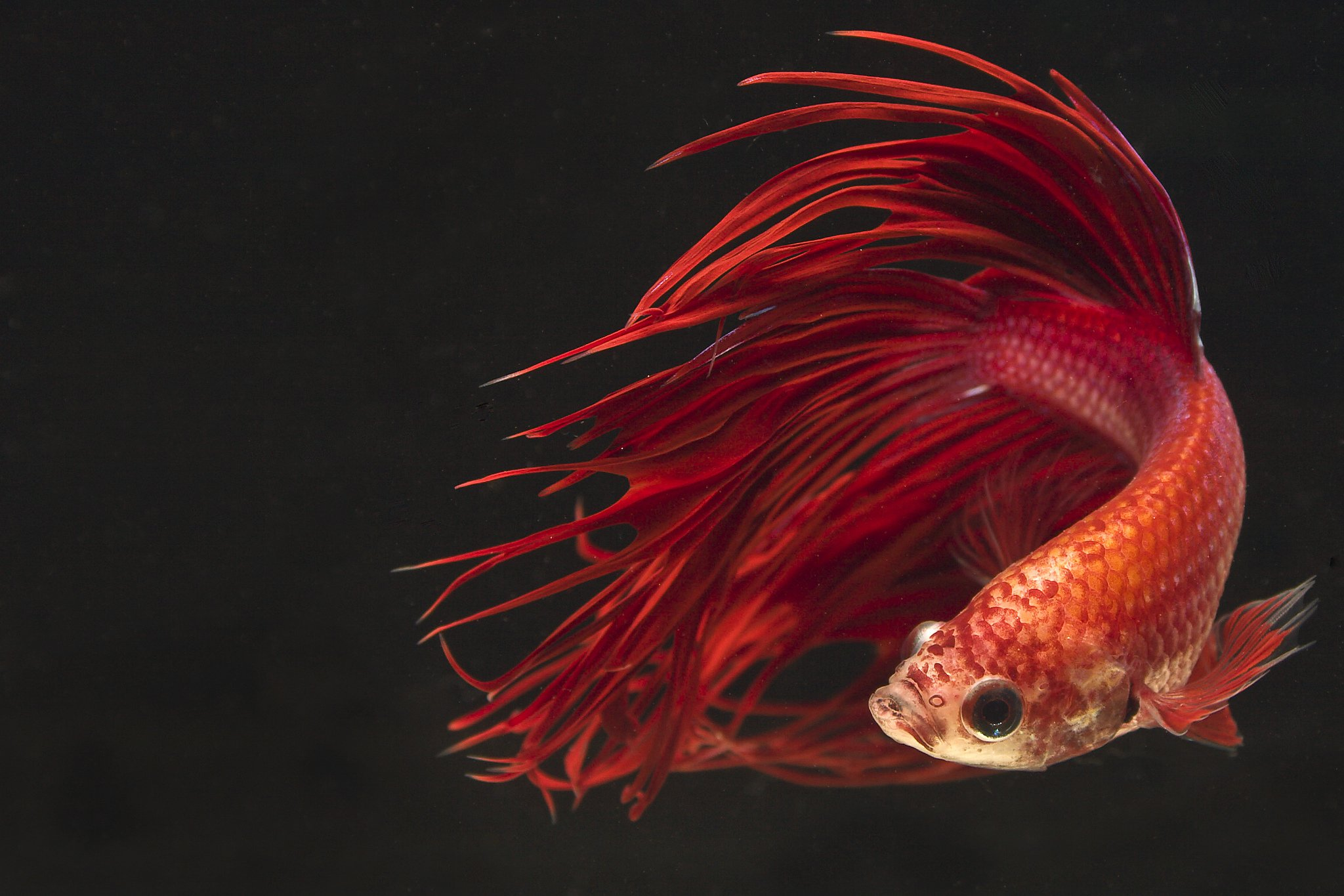 Fighter Fish Hd Wallpaper Download Betta Siamese Fighting Fish Colorful Tropical Wallpaper