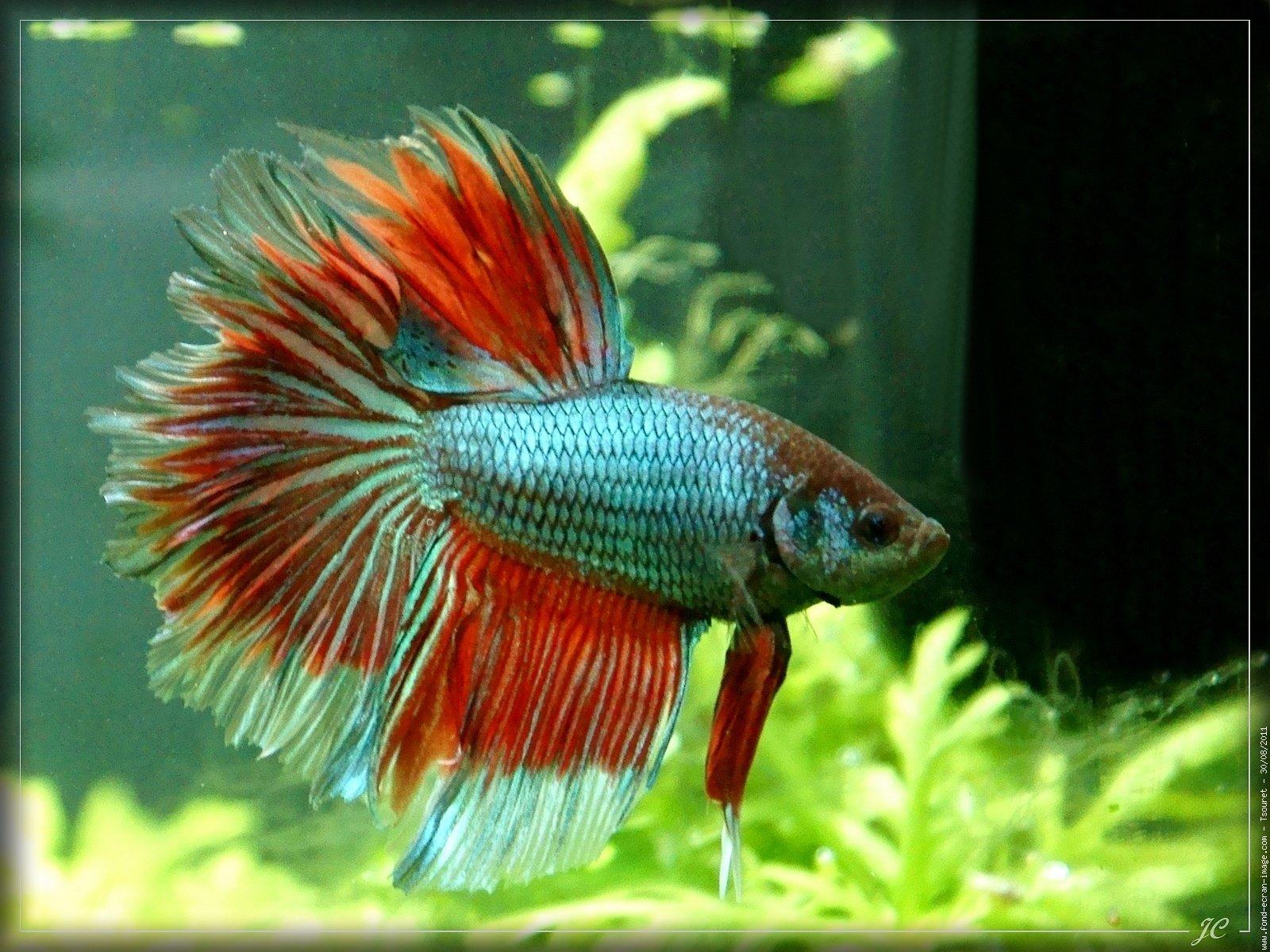 3d Fish Wallpaper Hd Betta Siamese Fighting Fish Colorful Tropical Wallpaper