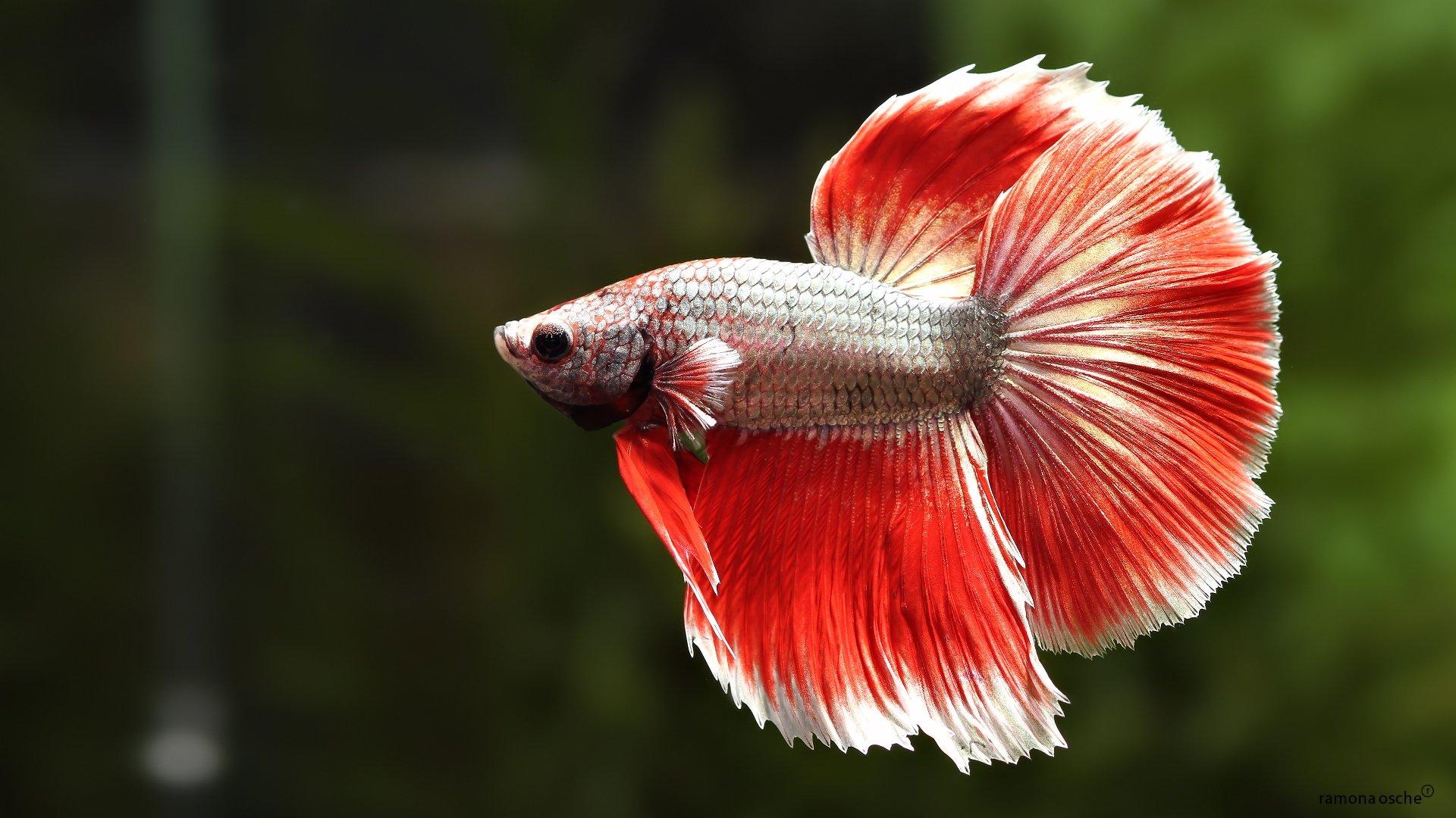 Download Koi Fish 3d Wallpaper Betta Siamese Fighting Fish Colorful Tropical Wallpaper