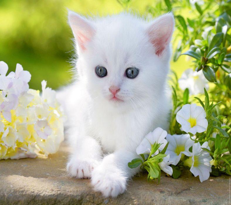Animal Wallpaper Download Baby Kitty Blue Eyes White Cute Flower Animal Cat