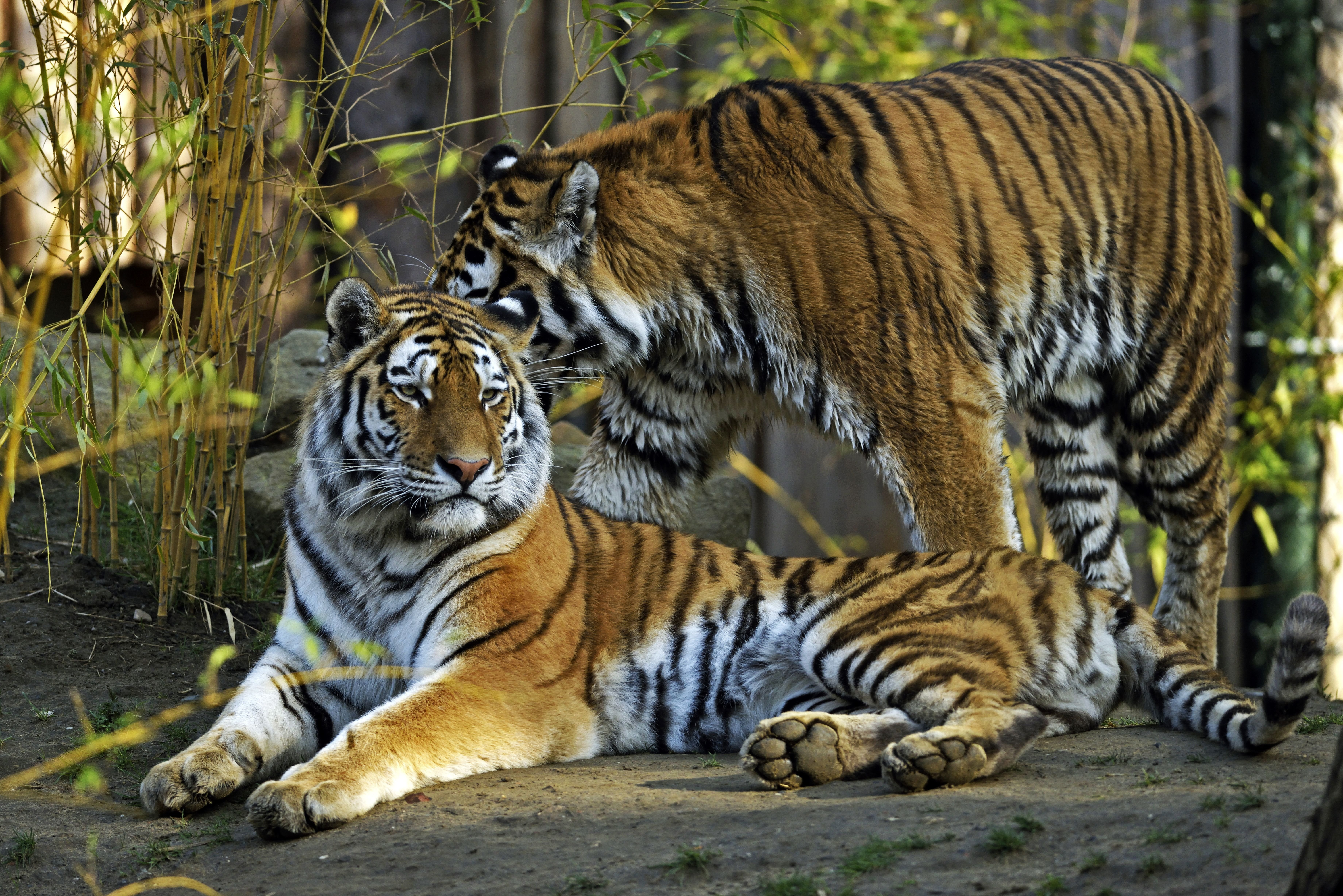 Large Hd Wallpapers For Laptop Big Cats Tigers Two Animals Tiger Wallpaper 7360x4912