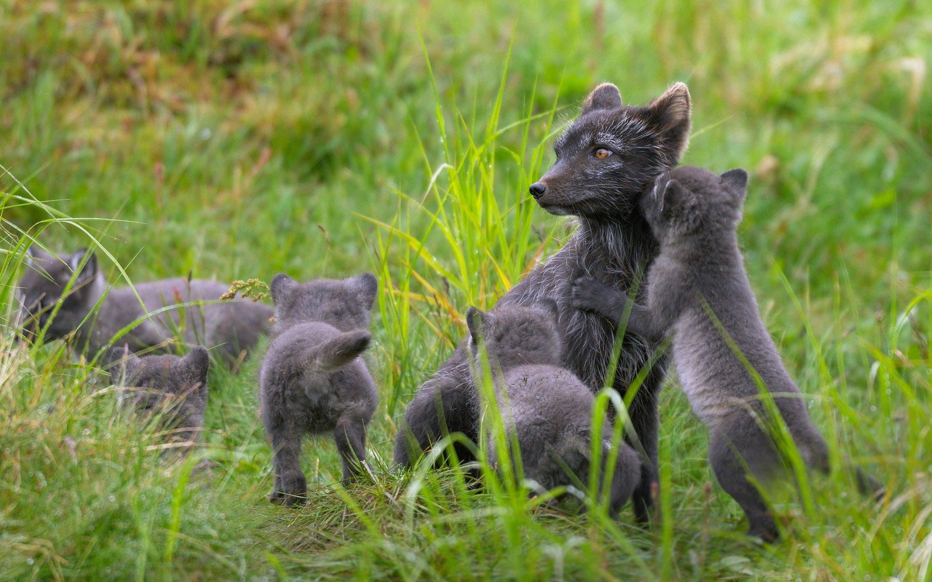 Cute Little Puppies Wallpapers Finland Polar Fox Lapland Puppy Baby Wallpaper 1920x1200