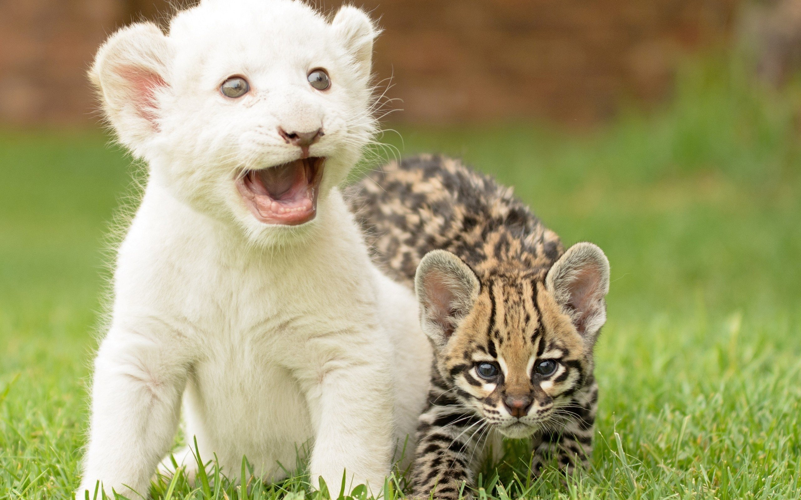 Aravind 3d Wallpapers Beauty Cute Amazing Animal White Lion Cub With Cat