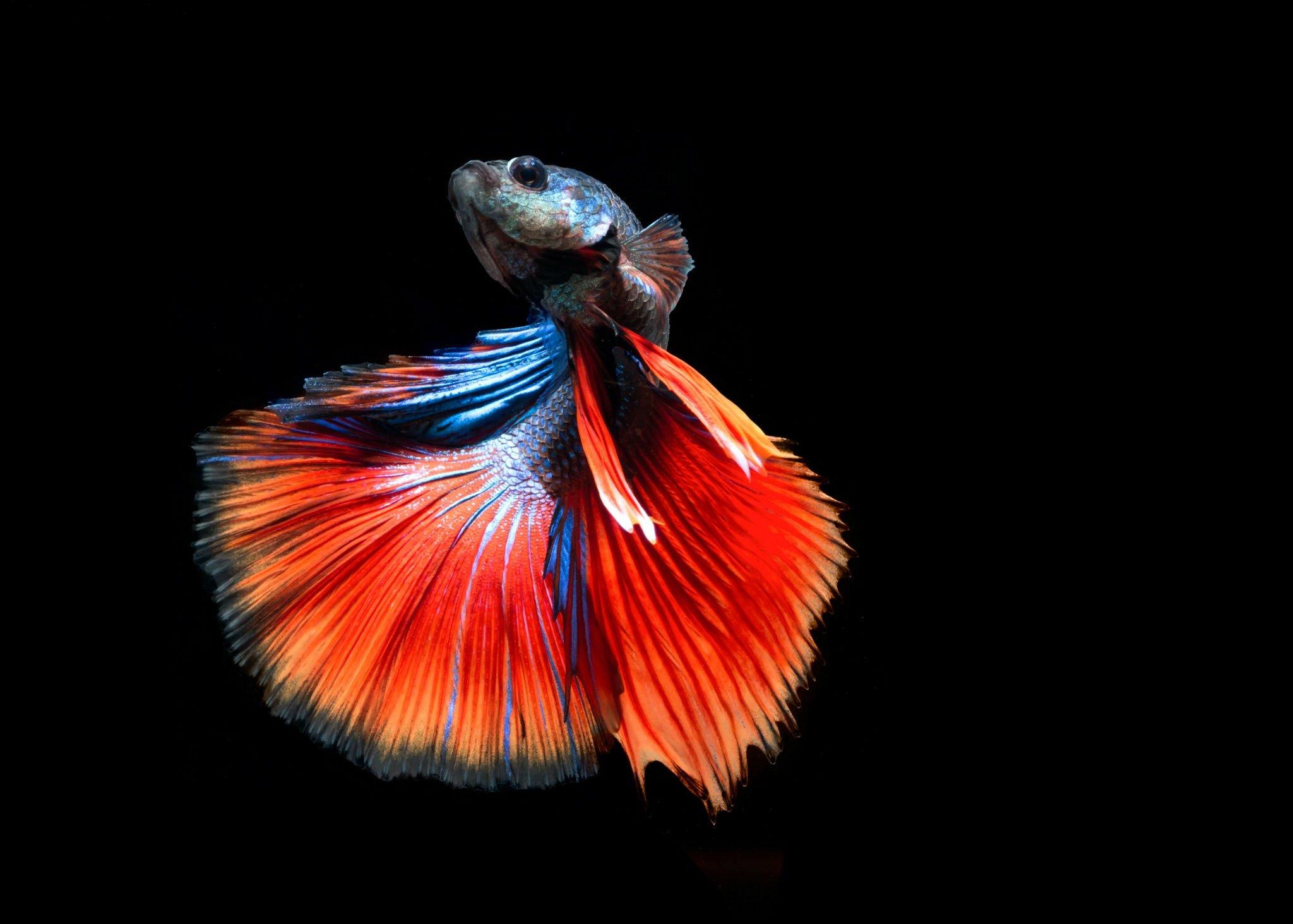 Hd Fish Live Wallpaper For Pc Betta Siamese Fighting Fish Underwater Tropical