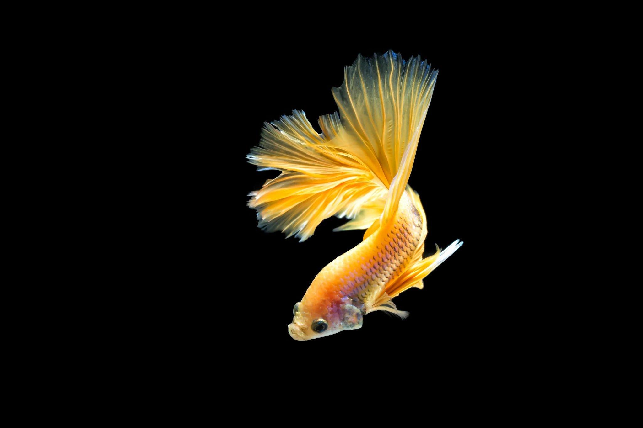 Underwater Iphone Wallpaper Betta Siamese Fighting Fish Underwater Tropical