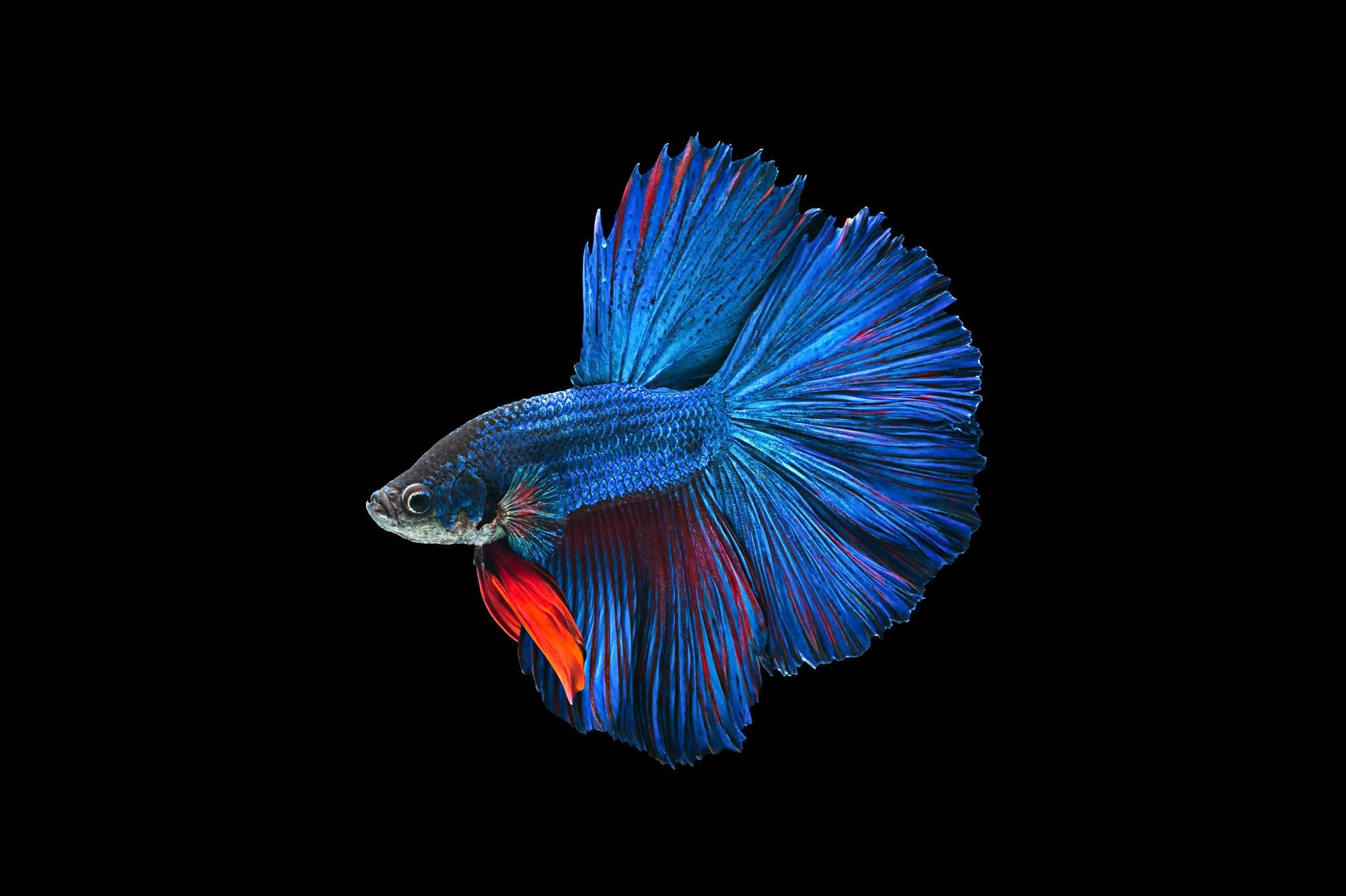 Fighter Fish Hd Wallpaper Download Betta Siamese Fighting Fish Underwater Tropical