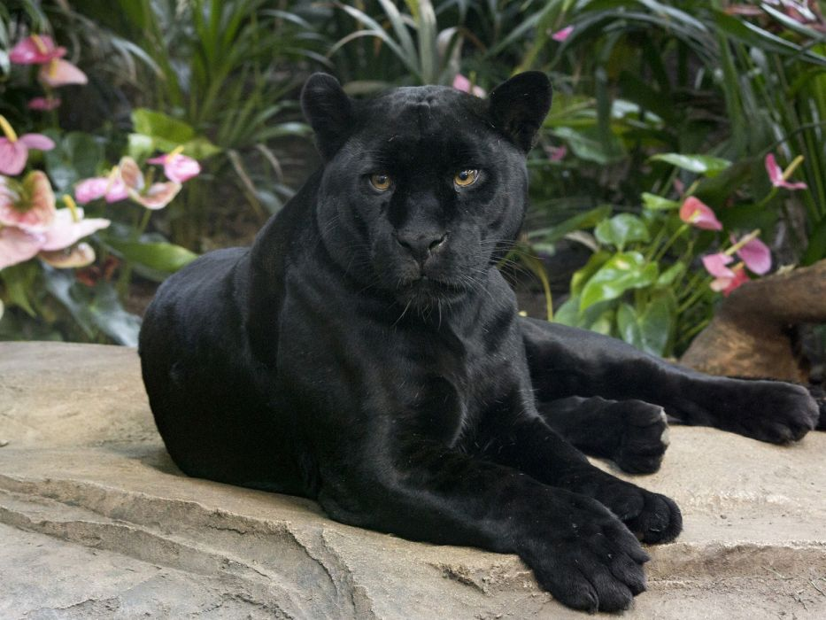 3d Black Jaguar Wallpaper Black Panther Wild Cat The Jaguar The Handsome Look