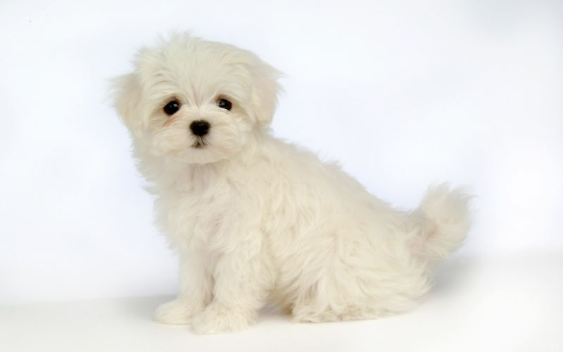 Animal Wallpaper Download Animal Cute Dog Maltese White Wallpaper 1920x1200
