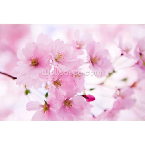 Medium Crop Of Cherry Blossom Wallpaper