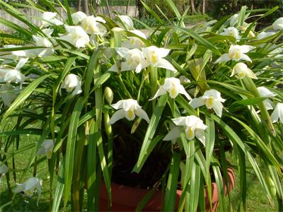 Cymbidium tempo di rinvaso for Orchidee da esterno