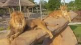 Les lions au zoo de Granby