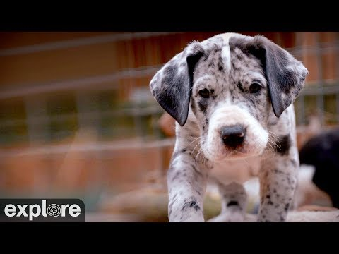 Great Danes – Service Dog Project powered by EXPLORE.org