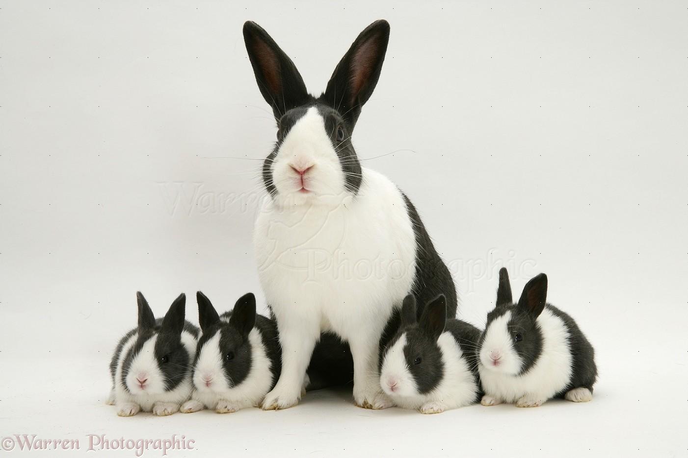 Black Animal Print Wallpaper Blue Dutch Rabbits Photo Wp10609