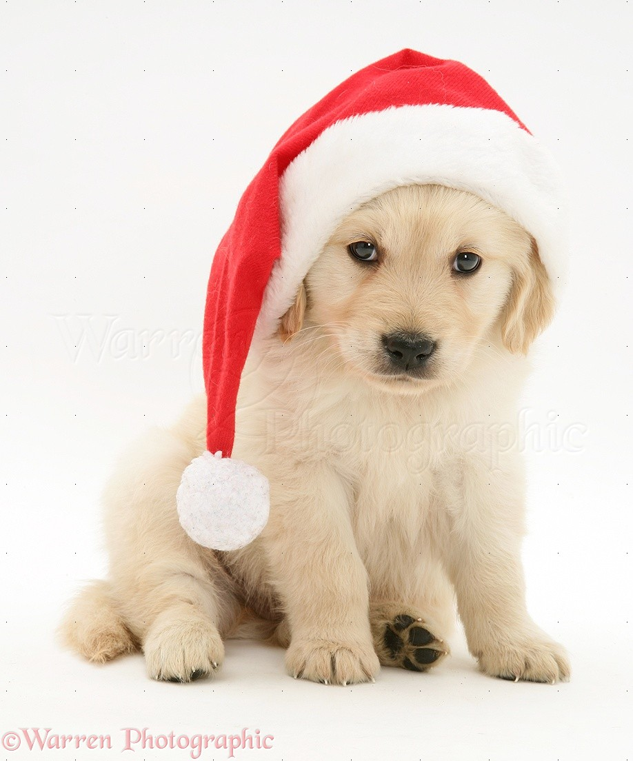 Cute Anime Dogs Wallpaper Dog Golden Retriever Pup Wearing A Santa Hat Photo Wp10689
