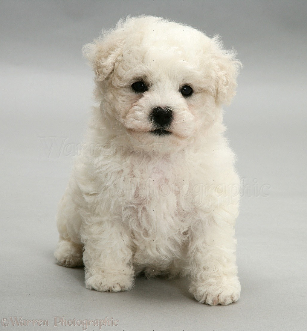 Cute Little Puppies Wallpapers Dog Cute Bichon Frise Puppy On Grey Background Photo Wp11720