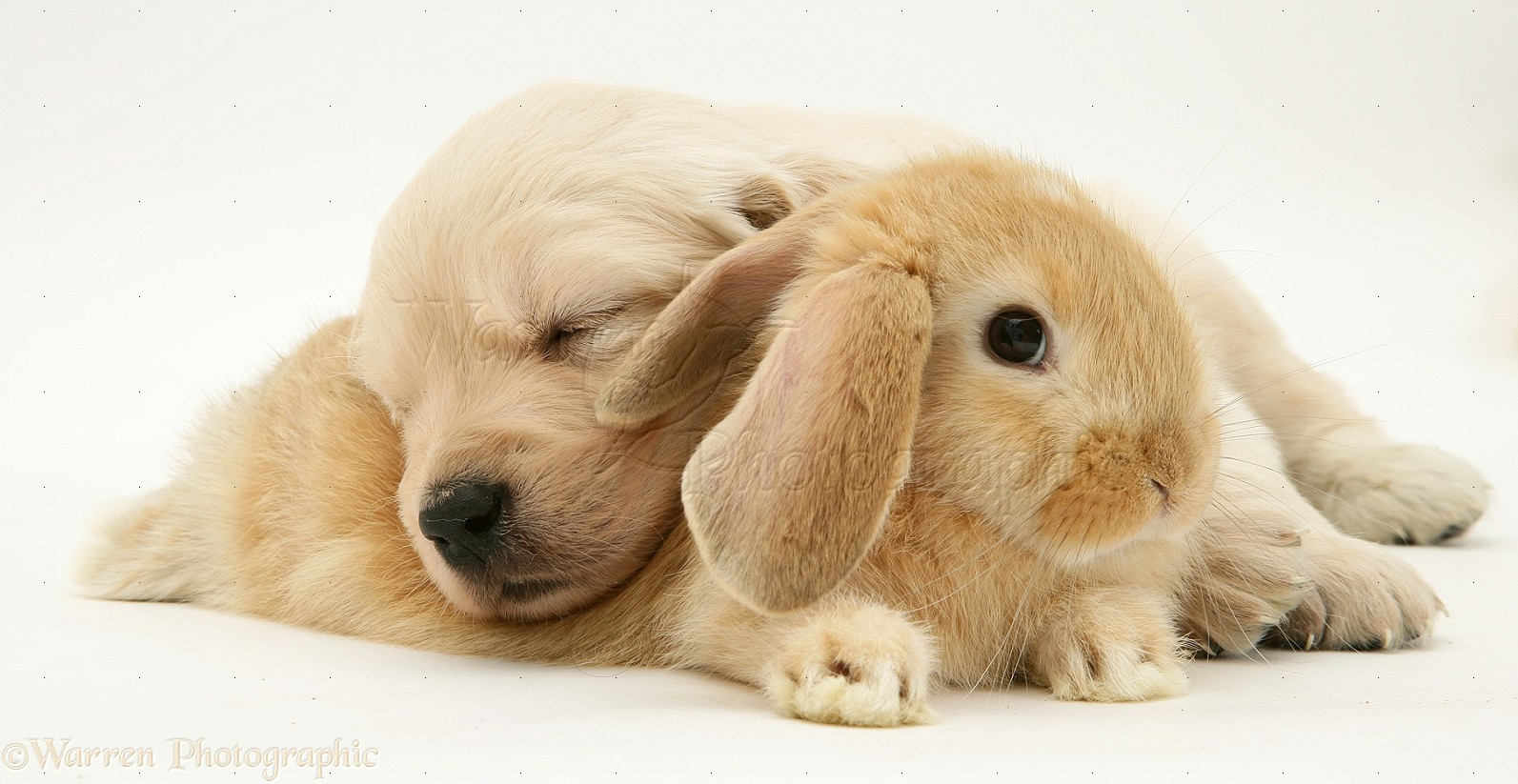Cute Baby Pig Wallpaper Pets Baby Sandy Lop Rabbit With Golden Retriever Pup