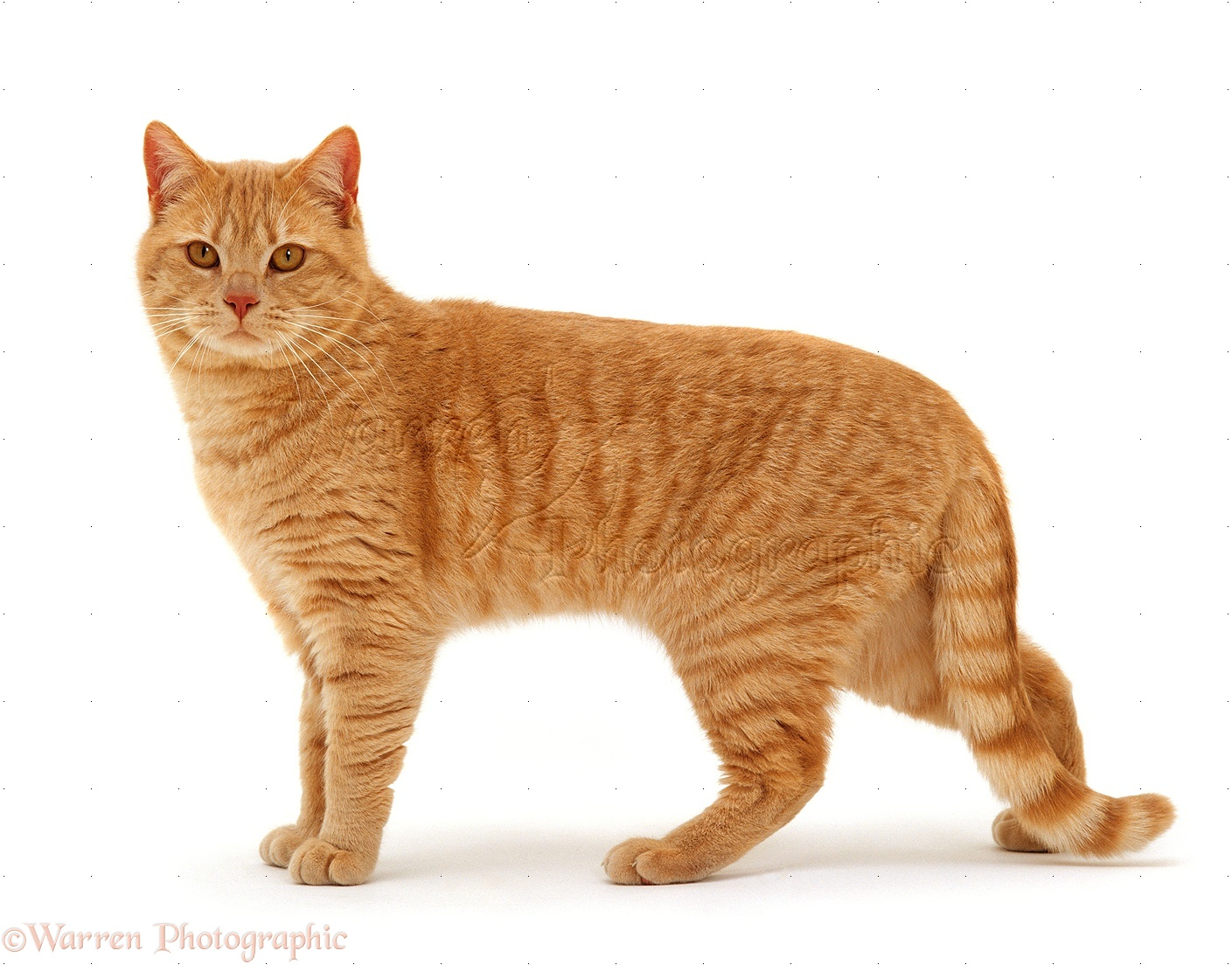 White Cute Cats Wallpapers Ginger Cat Standing Photo Wp15553