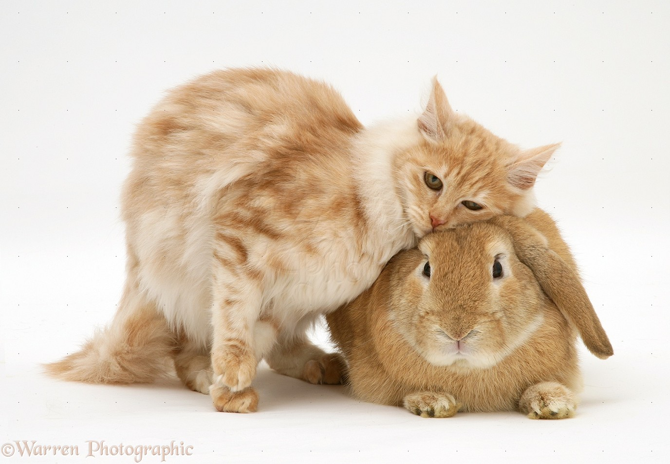 Cute Cat Wallpapers High Resolution Pets Ginger Rabbit And Cat Photo Wp18021