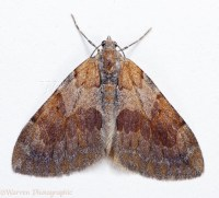 Pine Carpet Moth photo WP20494
