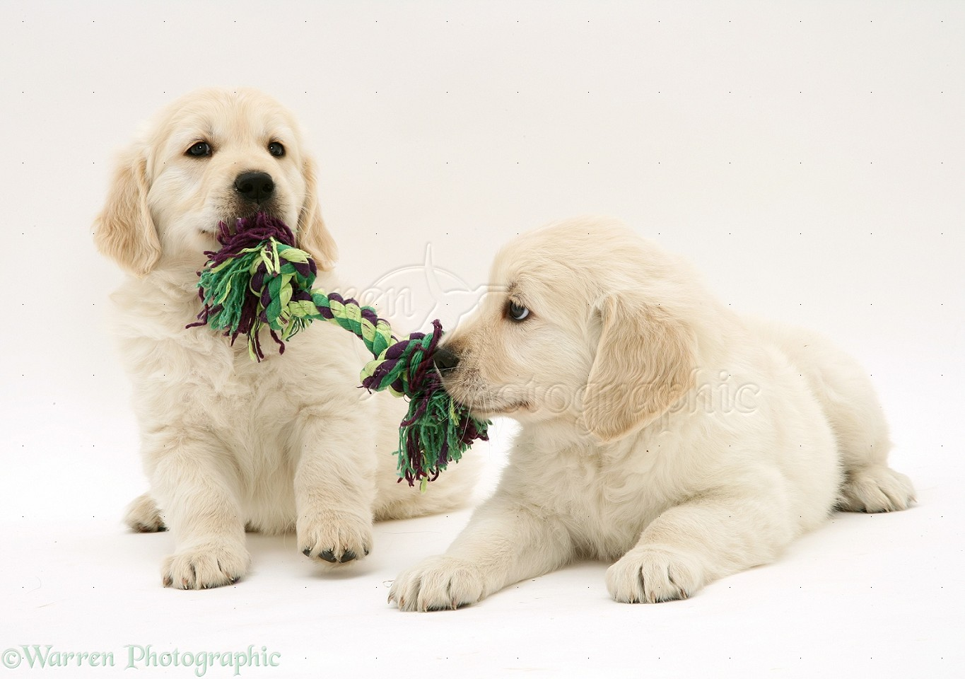 Image For Golden Retriever A