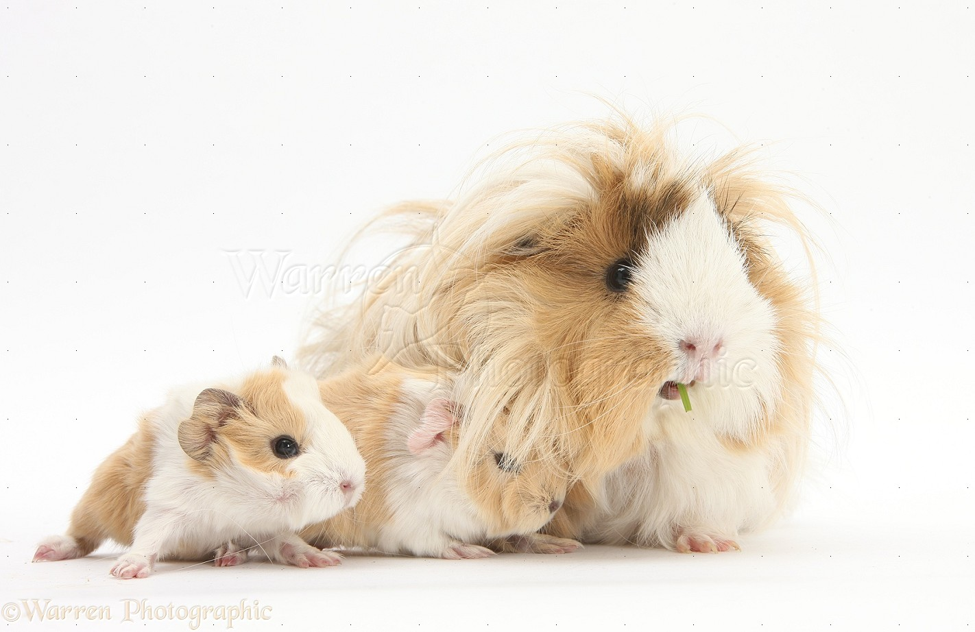 Cute Baby Pig Wallpaper Mother Guinea Pig And Baby Guinea Piglets 1 Day Old Photo