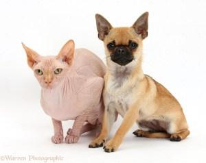 Chihuahua X Chug Pug