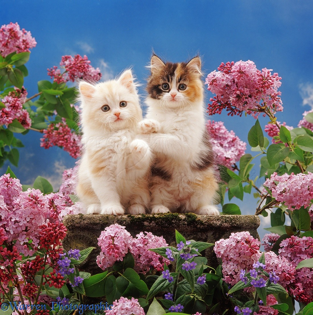 Pink Animal Print Wallpaper Two Kittens And Flowers Photo Wp37631