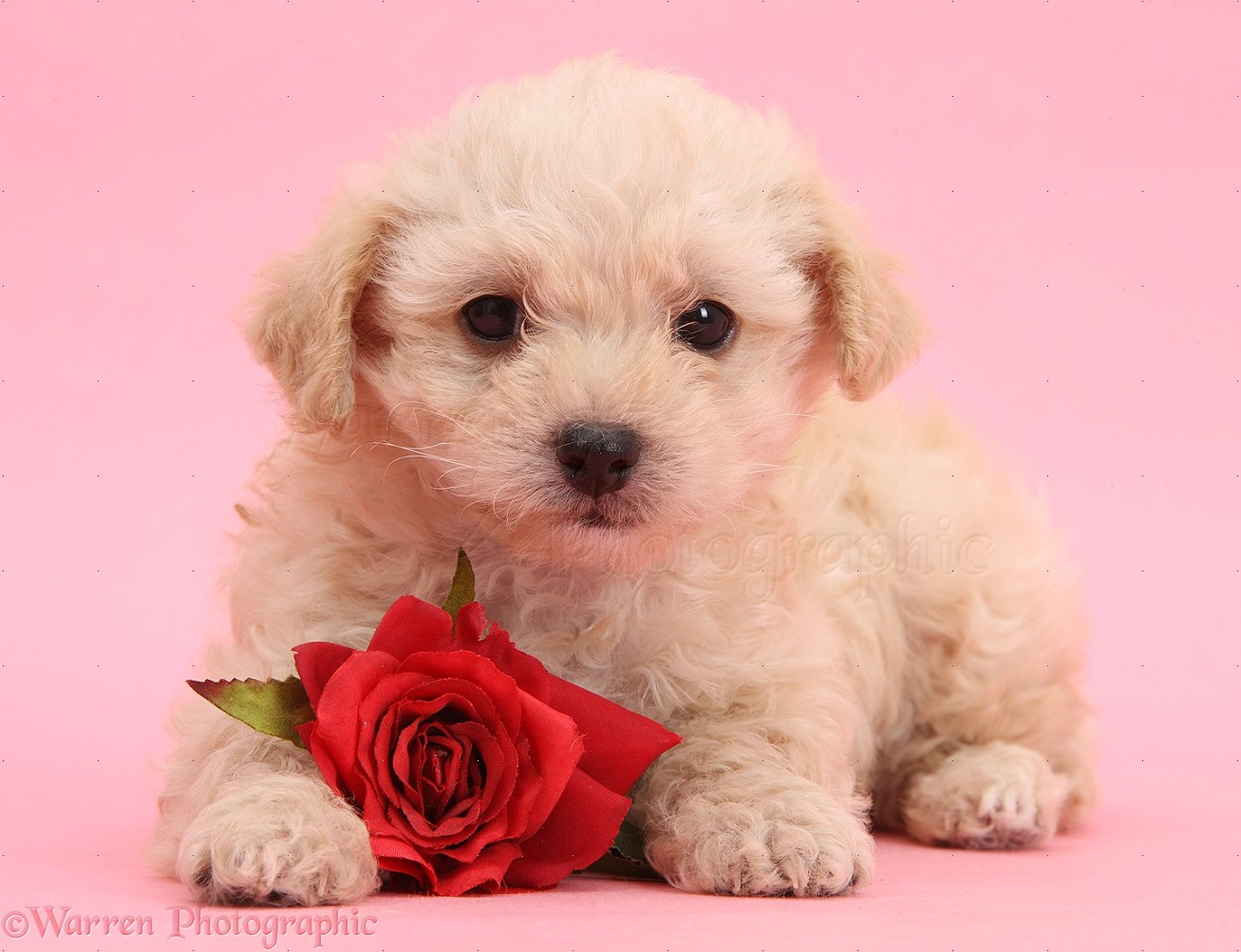 Cute Girl Hd Wallpaper For Laptop Dog Cute Valentine Puppy With Rose On Pink Background