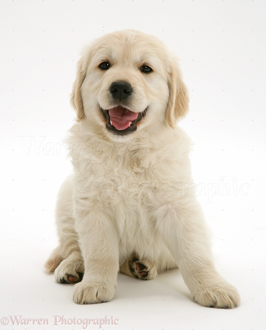 Cute Dog Pictures For Wallpaper Dog Smiley Golden Retriever Puppy Photo Wp40844