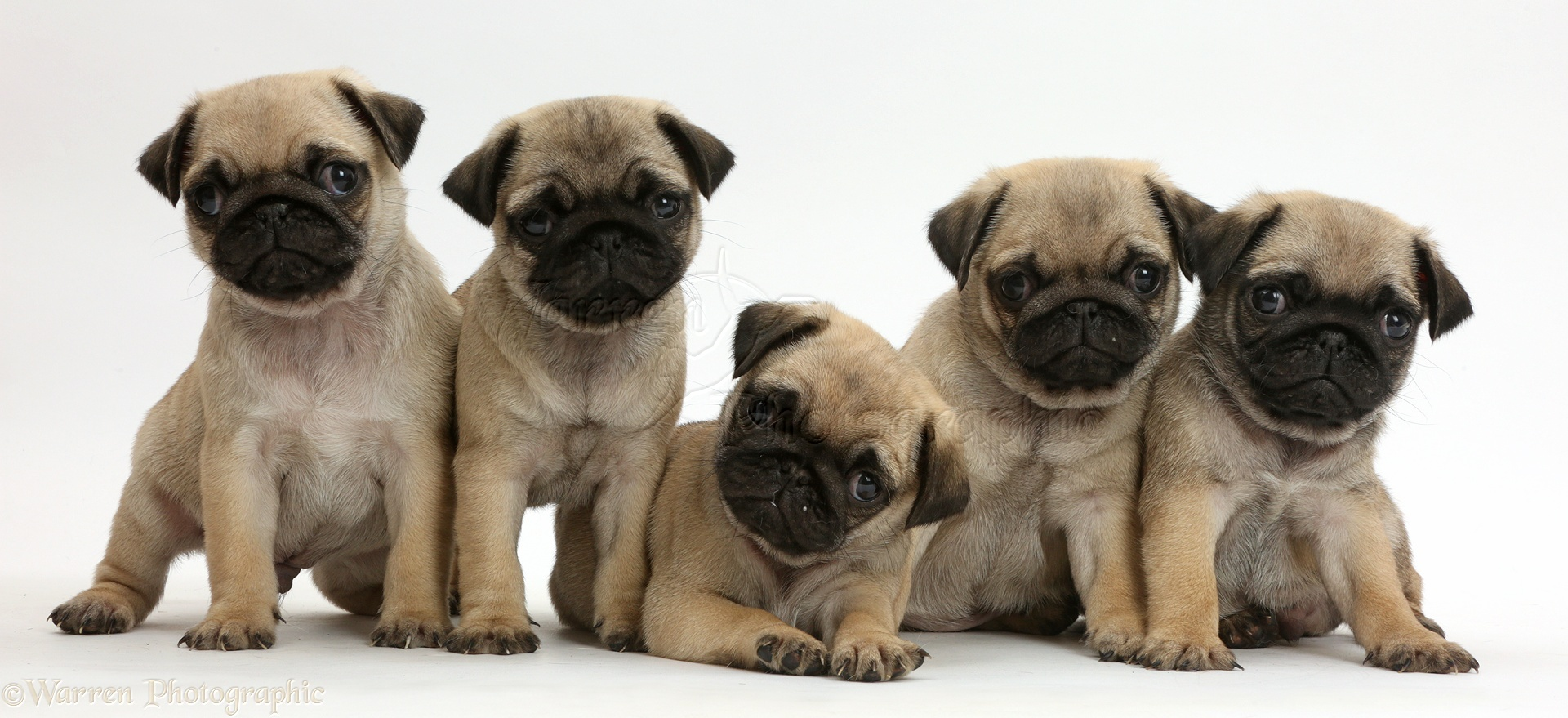 Cute Dog Pictures For Wallpaper Dogs Five Pug Puppies In A Row Photo Wp41995